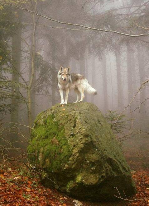 WolfOnRock