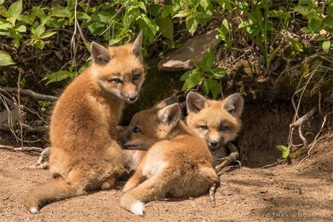 FoxKits