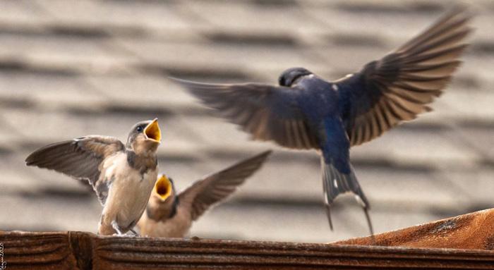 SwallowsLW