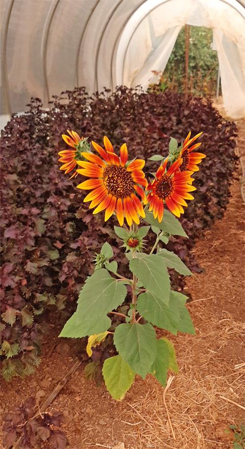 PetitTetonSunflowers2